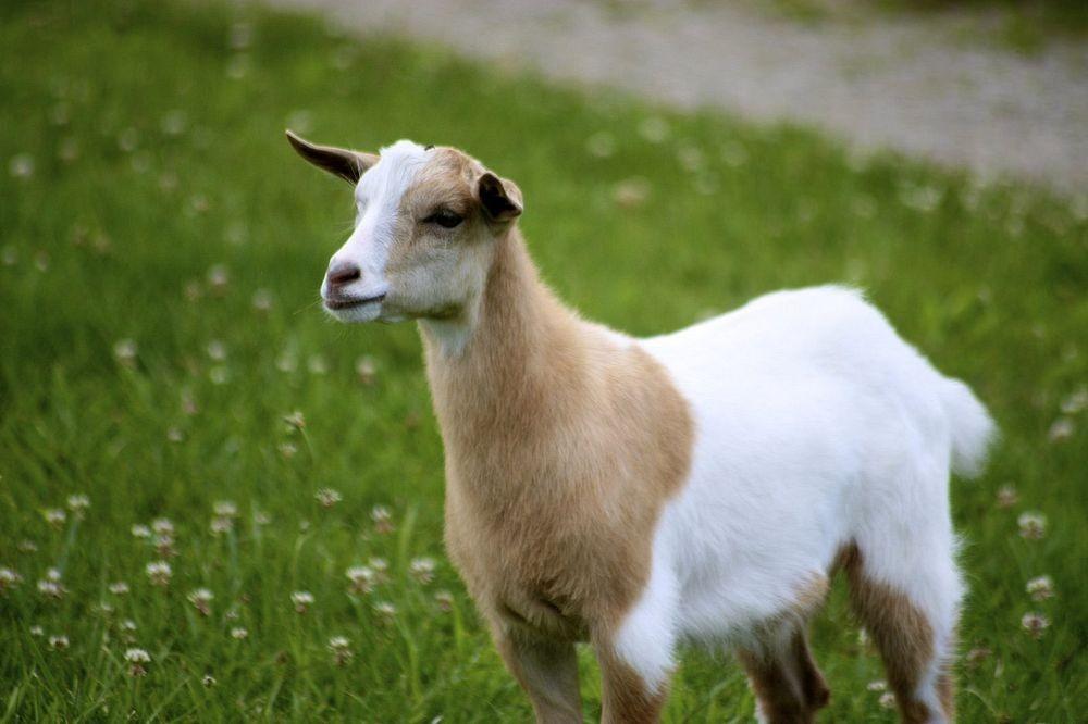 fainting-goat-1