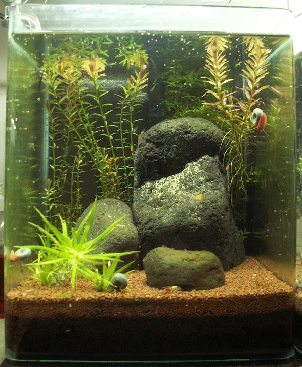 Aquariums plantés Aquarium+20+litres+08+02+2013