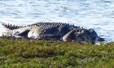 This is a big old croc, 15+ feet.