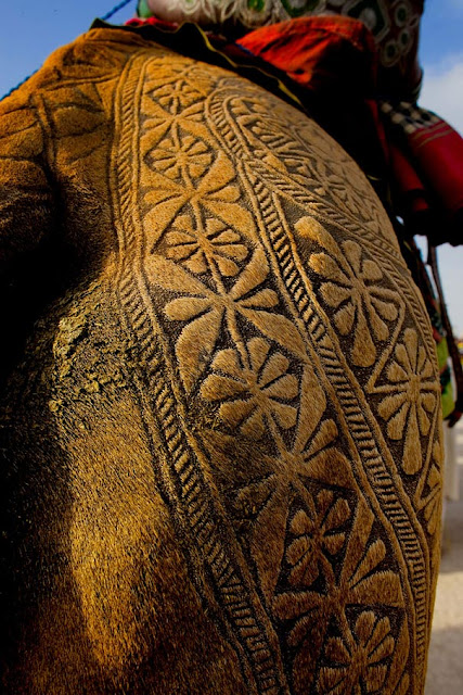 Уникални камилски прически по време на фестивала на камилите