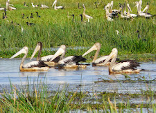 Pelicans, Carmor Plains