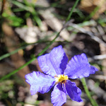 Dampiera Stricta Flowers in Spring (218552)