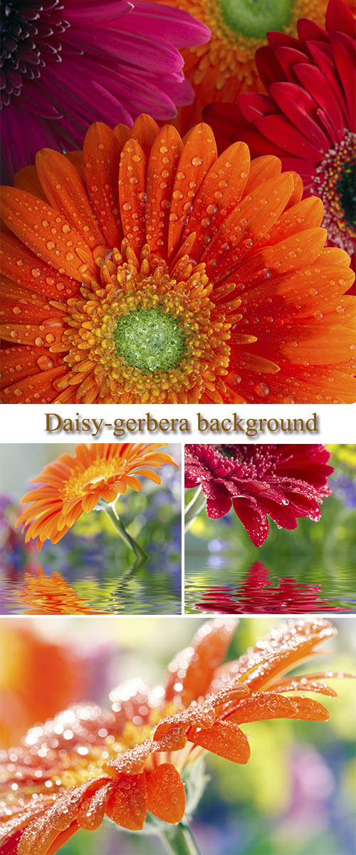 Stock Photo: Daisy-gerbera background
