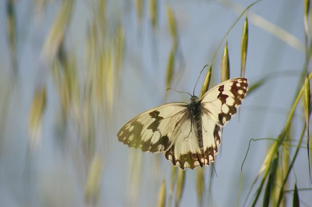 Melanargia lachesis HÜBNER, 1790, mâle. Bages (Pyr. Orientales), juin 2007. Photo : J.-M. Gayman