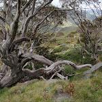 Interesting alpine trees on Summit Walk (96694)