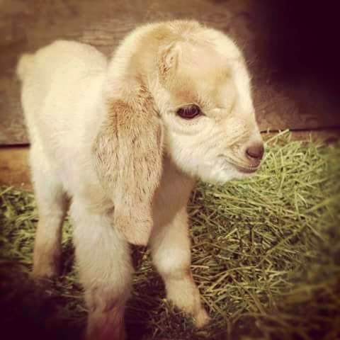 Baby Goat Awesome Picuture