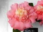 濃桃色 唐子咲き 大輪