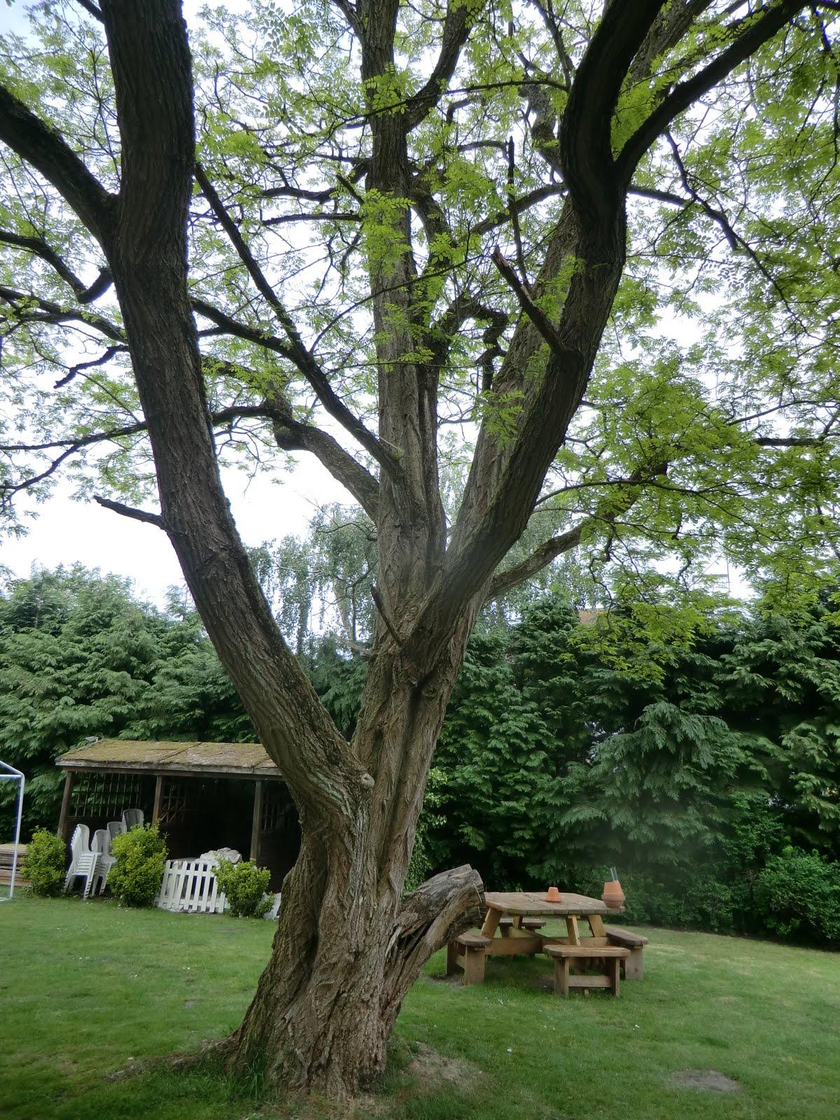 CIMG8257 Locust tree in Queen's Oak beer garden