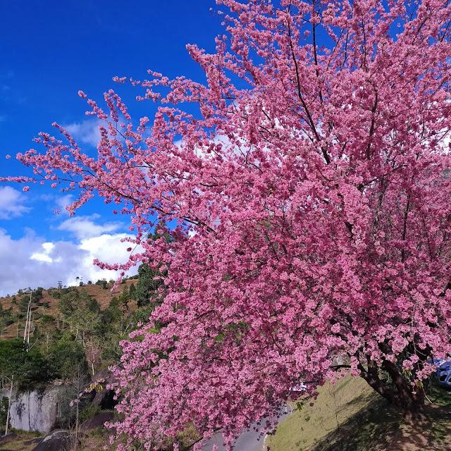Cerejeiras em Flor, Pedra Azul, ES.