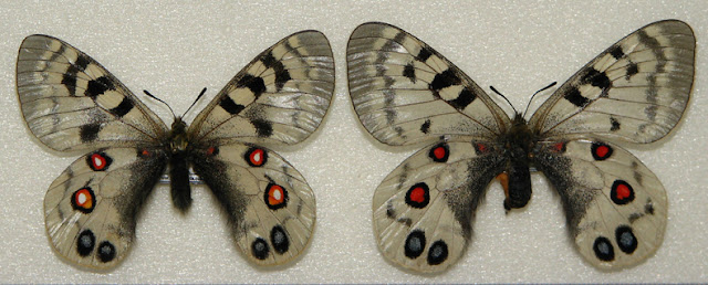 Parnassius (Eukoramius) imperator OBERTHÜR, 1890 (couple). Qinghai, Chine. Photo : Pavel Morozov
