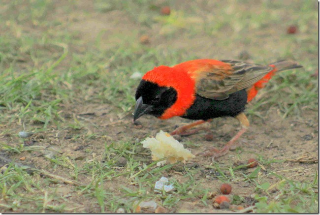 small red bishop