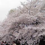 新宿御苑お花見