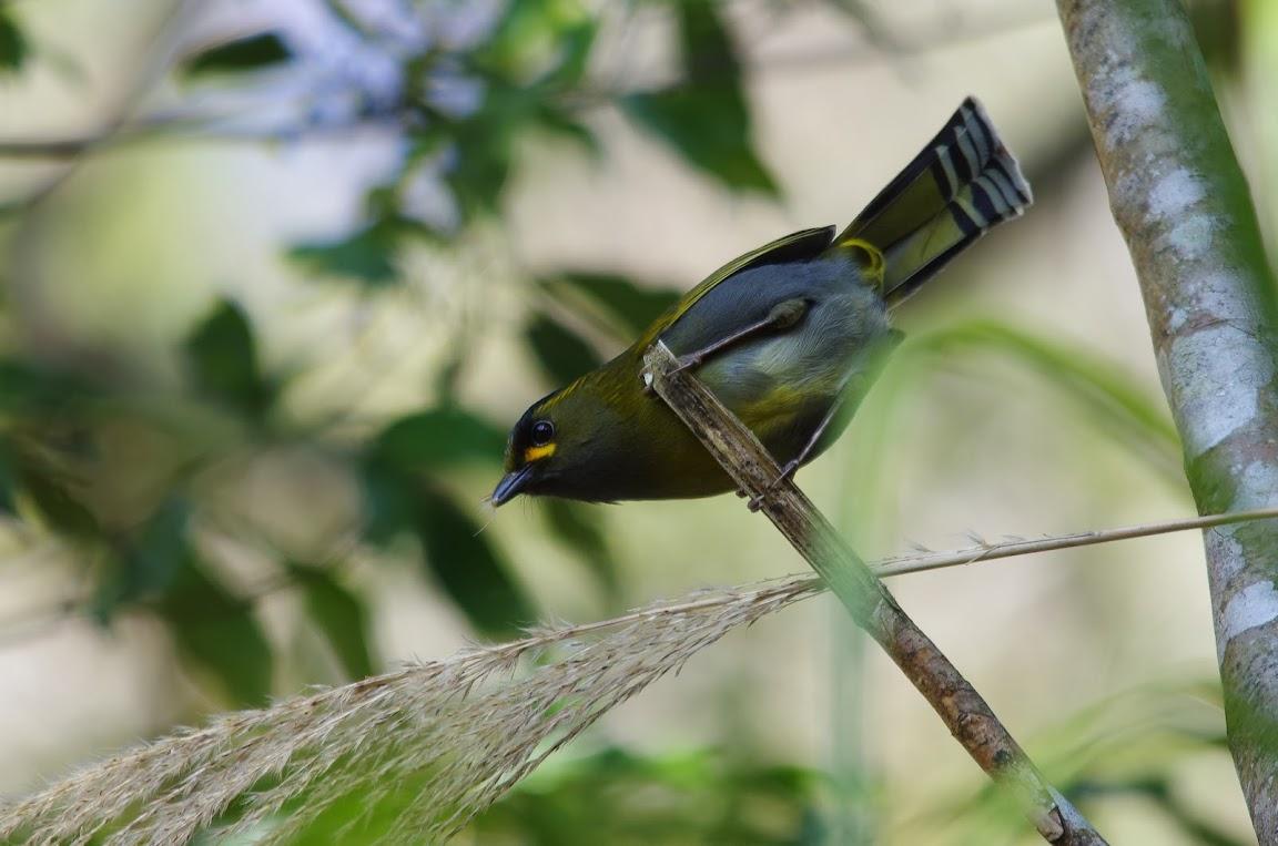 李崠山 - 黃胸藪鳥