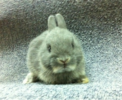 Rabbits for sale in Singapore!: (SOLD) Silver martens ...