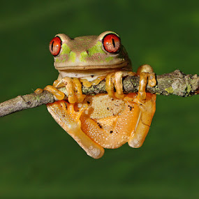 Natal Tree Frog by David Knox-Whitehead - Animals Amphibians ( perched, macro, red eyes, green, amphibian, frogs )