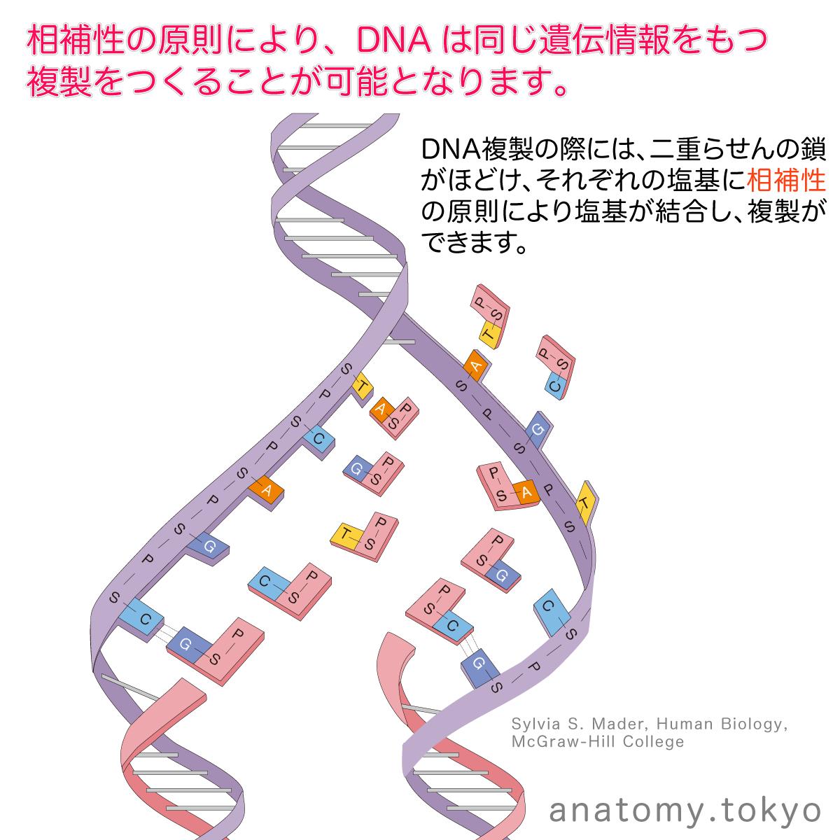 t112-27-DNA複製-replication.png