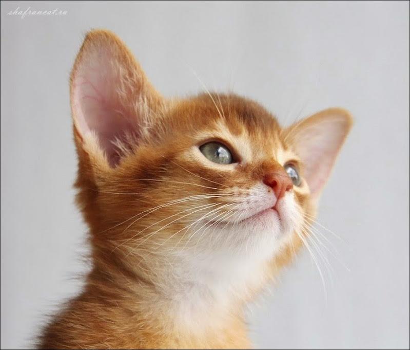 Абиссинские котята питомника Shafran