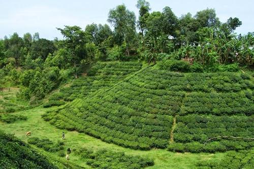 Tea garden at Srimangal