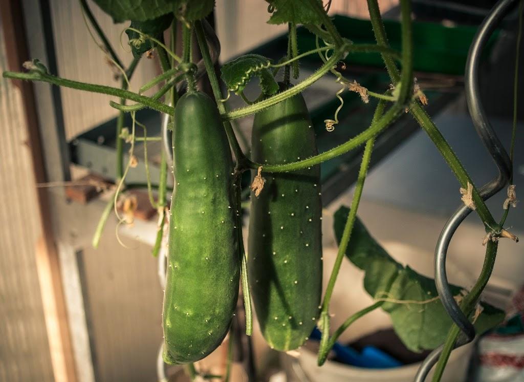 Cucumbers-09