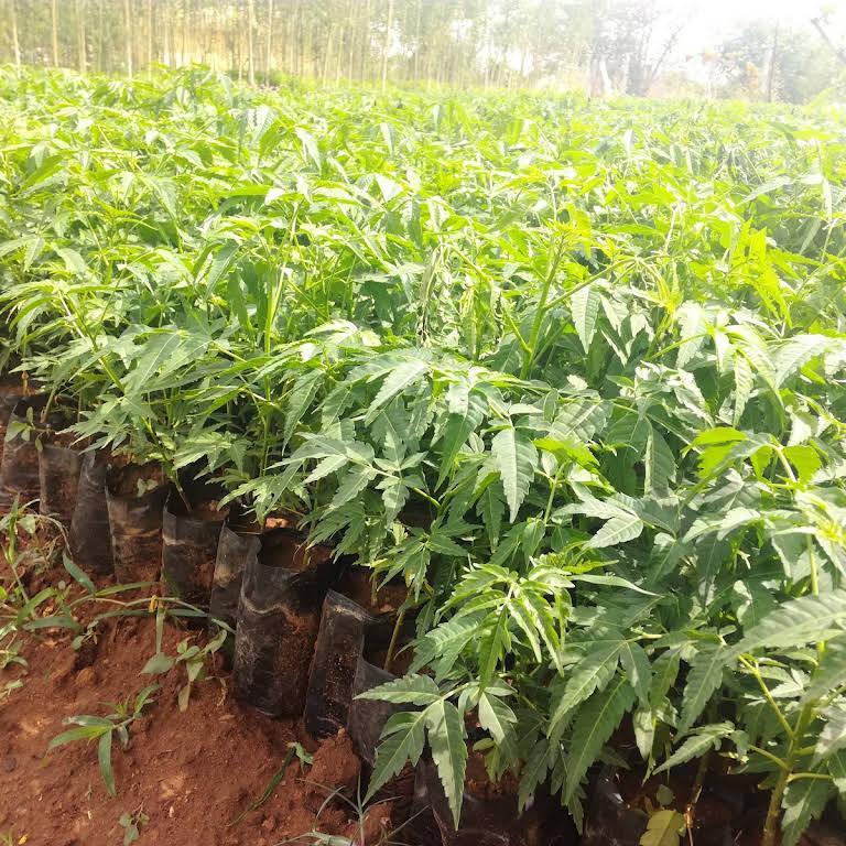 Chandan Sri gandham dindigul White Sandalwood PLANT NURSERY