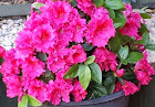 Red Bougainvillea growing in a pot