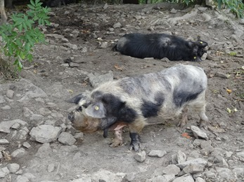 2018.07.19-005 cochons