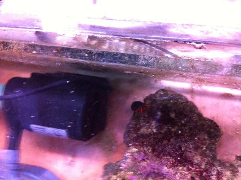 Calcinus Sp. (Orange Hermit Crab)  2011_%2525206_24_%2525209_32