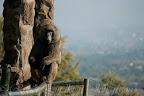 Big male baboon balancing on the fence.
