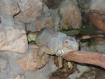 2017.06.17-009 iguane vert