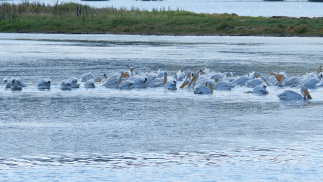 White pelicans floating in Puget Sound's Padilla Bay, 29 August 2016. White pelicans aren't normally seen in Puget Sound and birders are trying to find out where these pelicans are visiting from. Photo: Katie Campbell / KCTS9