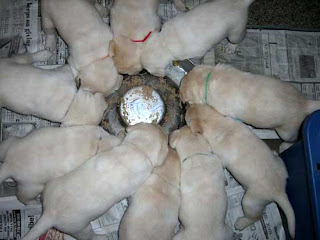 10 hungry puppies enjoying their first taste of puppy pie.Asti - Bo litter