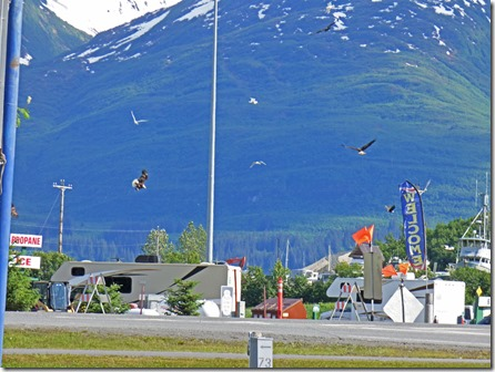 Bald Eagles over Valdez Alaska