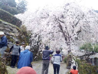高知県 市川家のしだれ桜の画像