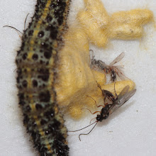 Photo: Hang on, see the antennae top left? Another wasp is crawling out from under the caterpillar.