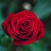 Hoa hồng tiếng Anh là gì?