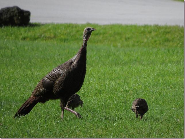 turkeysIMG_7207