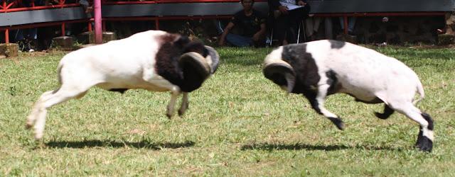 Adu Domba Garut, Seni Dan Ketangkasan