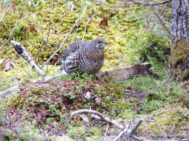 a female Spruce Grouse