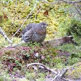 a female Spruce Grouse