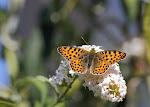 Storplettet perlemorsommerfugl på sommerfuglebusk, lathonia.jpg