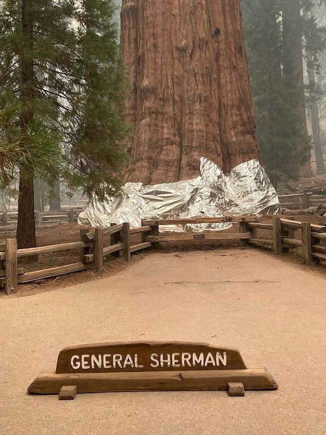 Incendio forestal en California: el árbol más grande del mundo fue envuelto en una manta para protegerlo de las llamas