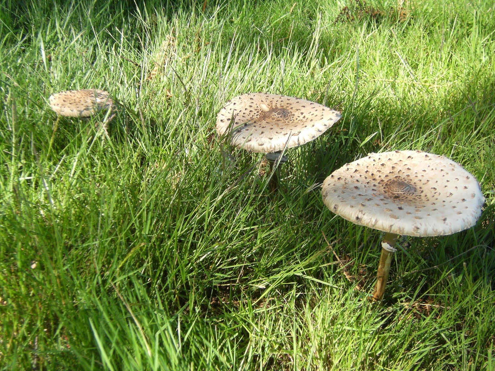 DSCF8745 Parasol mushrooms on Ashdown Forest