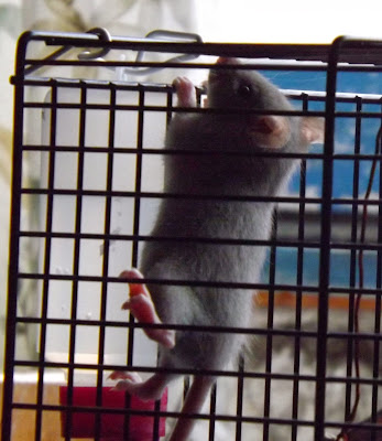 szczur błękitek blue szczurek szary niebieski małe szczury mały szczurek opieka nad szczurem pierwszy dzień szczura w domu
