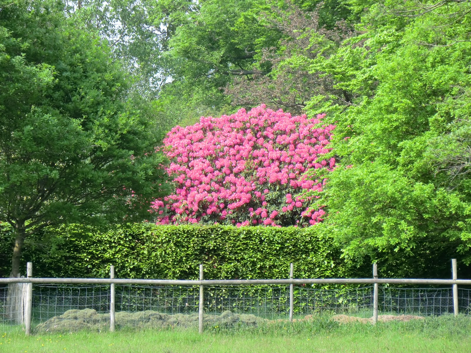 CIMG2966 Rhododendrons at Tremaines
