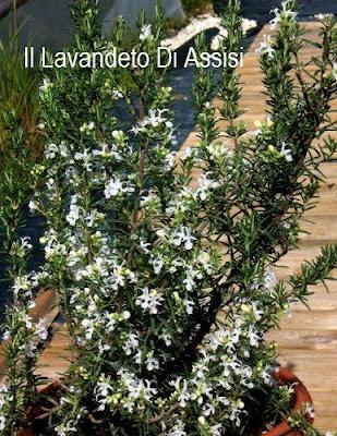 Rosmarino fiore bianco