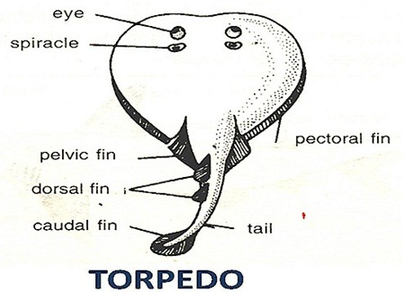 cartilaginous-fish-torpedo
