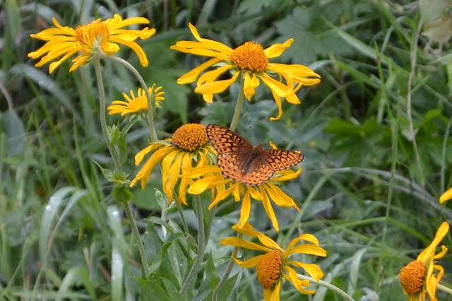 orange adn black butterfly on long petaled yellow composite flowers