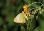 Mosehøsommerfugl, Palaeno, hun4.jpg