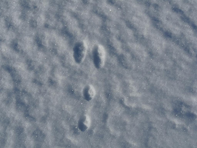 Eastern Cottontail tracks