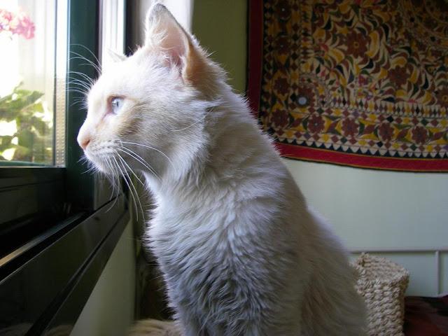 EGO, precioso angora en adopción. Sevilla Yeti7